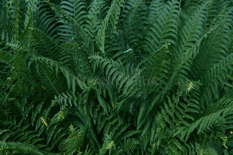 Beautiful tropical fern background with young green fern leaves. Dark and moody feel. Selective focus. Concept for design.  royalty free stock images