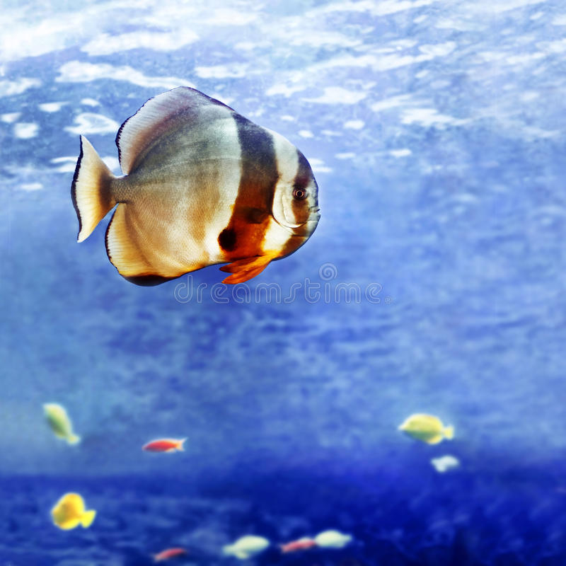 Beautiful tropical fish. Underwater image of big tropical fish stock photography