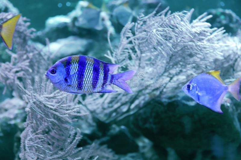 Beautiful tropical fishes in clear water. Bleached coral - color of the year 2020. Beautiful tropical fishes in clear aquarium water. Bleached coral - color of royalty free stock image