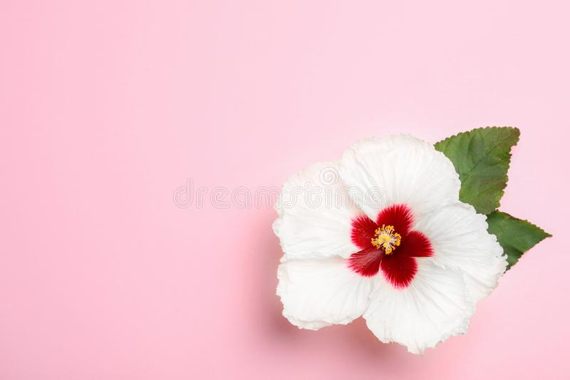 Beautiful tropical hibiscus flower with leaves on pink background, top view. Space for text royalty free stock photography