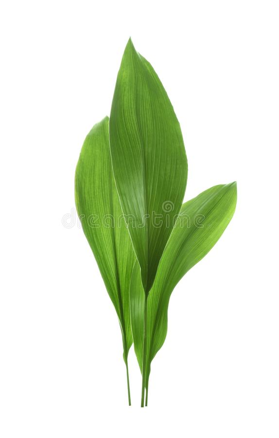 Beautiful tropical leaves on white background royalty free stock photography