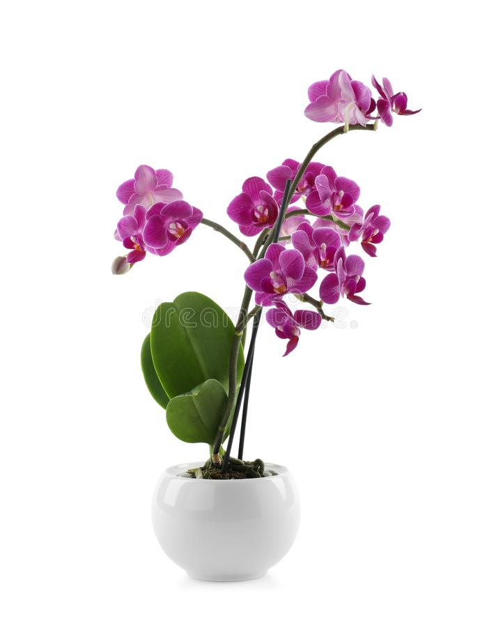 Beautiful tropical orchid flower in pot on white. Background stock images