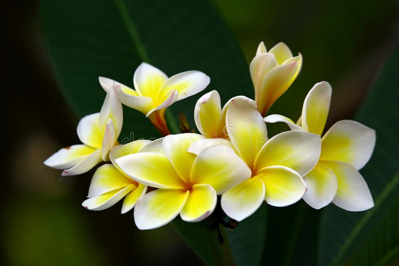 Beautiful tropical plumeria or frangipani flowers stock photos
