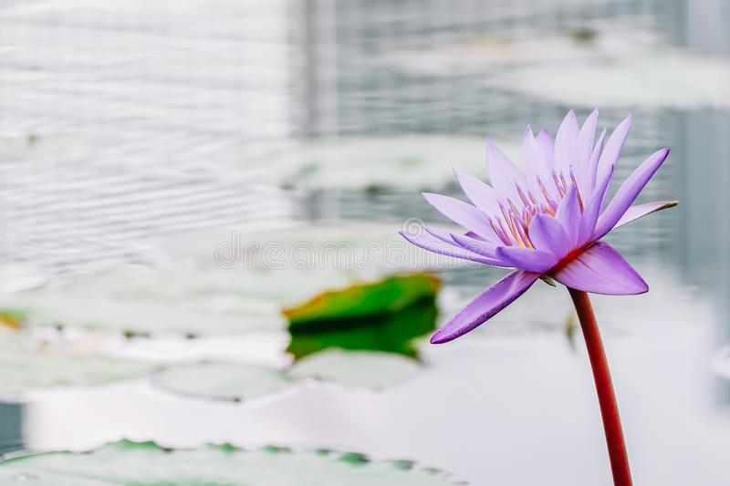 Beautiful tropical purple violet Siam Lotus flower or Water lily blooming among the green leaves and reflect water of building royalty free stock image