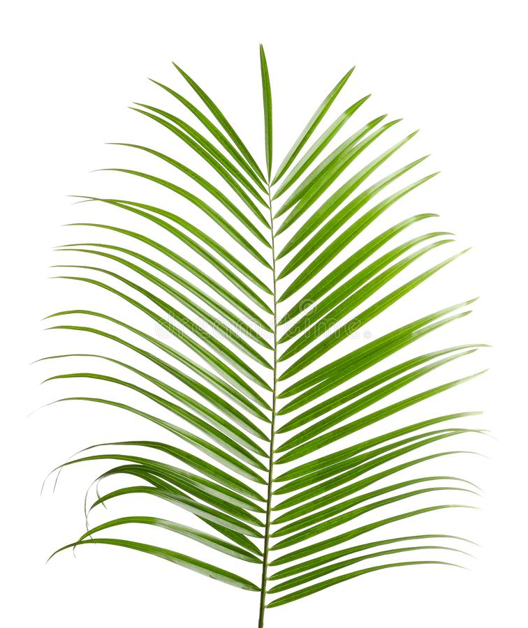 Beautiful tropical Sago palm leaf. On white background royalty free stock photo