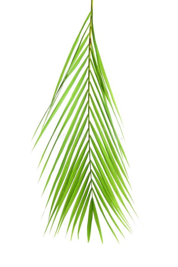 Beautiful tropical Sago palm leaf royalty free stock photo