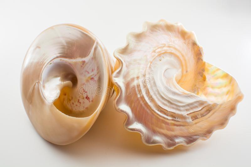 Beautiful tropical sea shells white pearly Trochus Tectus niloticus isolated, close up royalty free stock photo