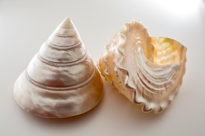 Beautiful tropical sea shells white pearly Trochus Tectus niloticus isolated, close up royalty free stock images