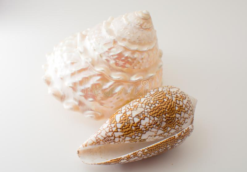 Beautiful tropical sea shells white pearly Trochus Tectus niloticus and Cymbiola nobilis isolated, close up stock photos