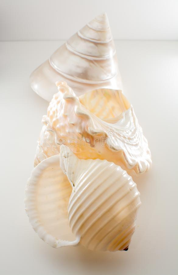 Beautiful tropical sea shells white pearly Trochus Tectus niloticus and Tonna shell isolated, close up stock photography