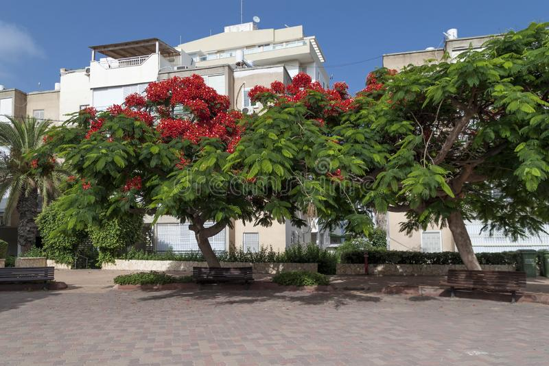 Beautiful tropical tree with red flowers Royal Poinciana or Delonix Regia or Flame tree in Netanya, Israel.  royalty free stock photo