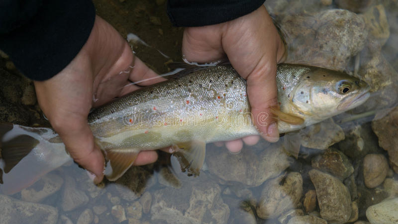 Beautiful Trout. My brother`s girlfriend caught this nice trout on a live worm at Beaver Creek stock image