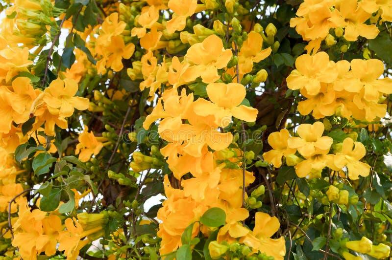 Beautiful trumpetbush bouquet are yellow color. The yellow trumpetbush are blooming all around the tree look like yellow tree stock photo