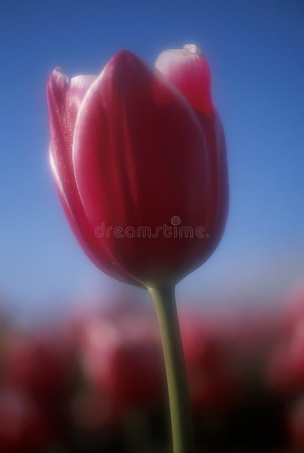 Beautiful Tulip royalty free stock photo