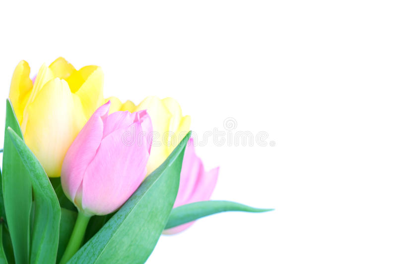 Beautiful tulip bouqet. Isolated on white background royalty free stock images