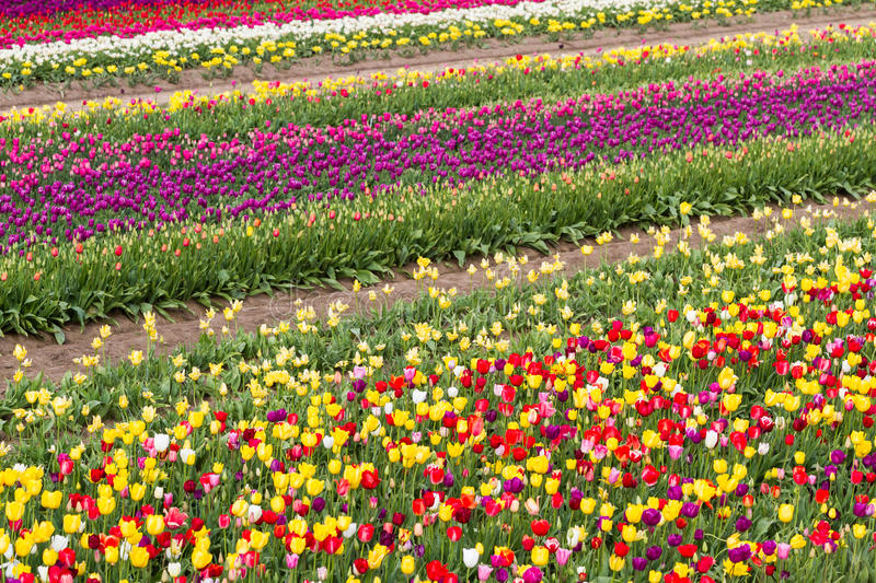 Beautiful tulip farm royalty free stock images