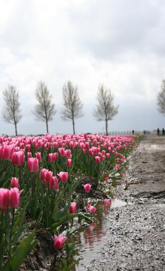 Beautiful tulip field in Holland province Flevoland. Beautiful tulip field in Holland, province Flevoland. Flower bulbs growing on agricultural field stock photography