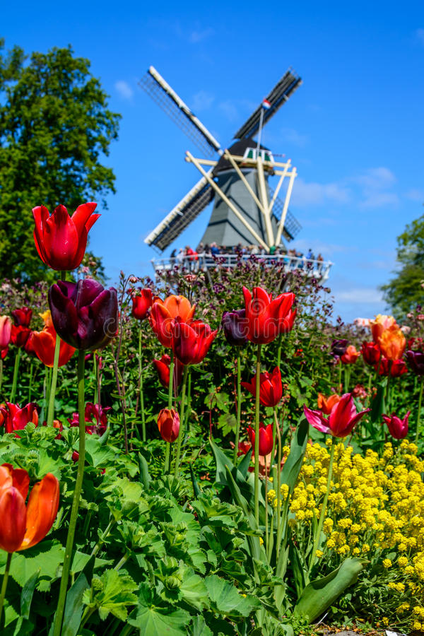 Beautiful tulip fields in Holland royalty free stock photography