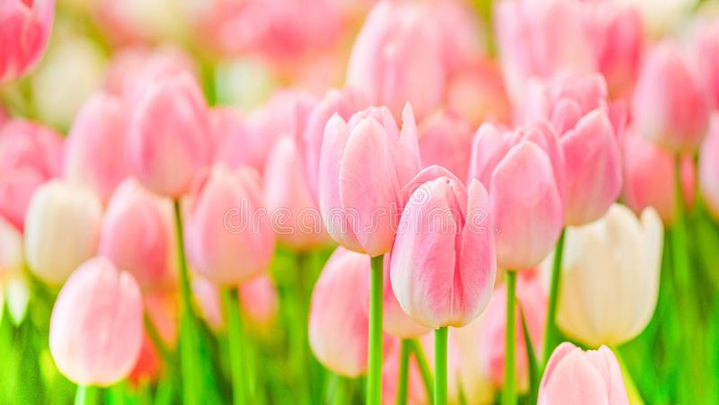 The beautiful tulip flowers in the garden using as the nature background and spring season wallpaper concept stock photography