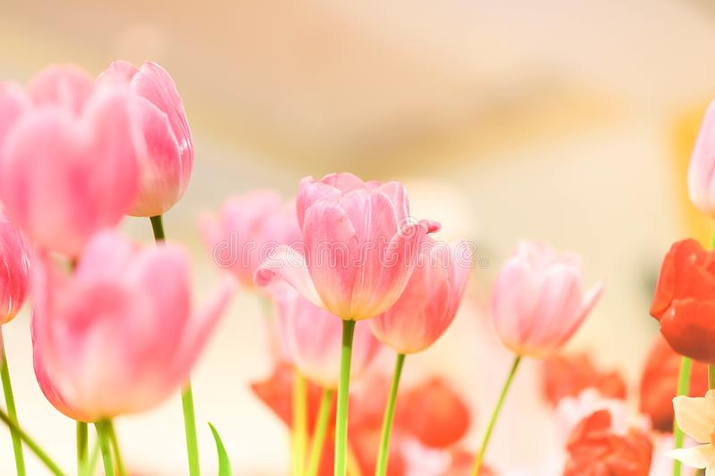 The beautiful tulip flowers in the garden using as the nature background and spring season wallpaper concept royalty free stock photo