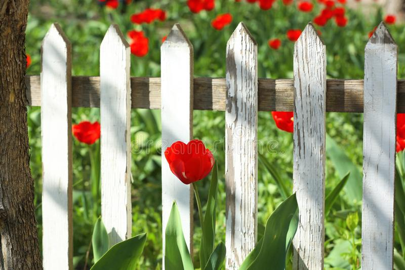 Beautiful tulip in garden near fence on sunny day. Spring flowers stock photography