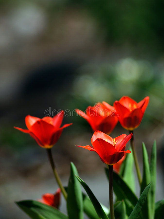 Beautiful tulips royalty free stock photography