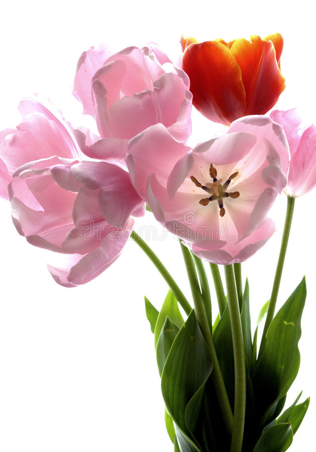 Free Beautiful Tulips Royalty Free Stock Photography - 5192447