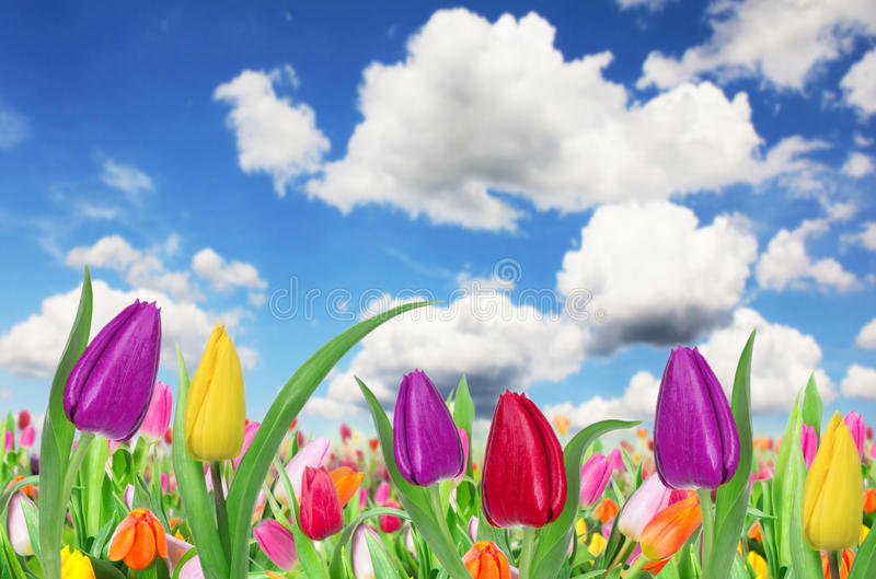 Download Beautiful Tulips Background Stock Image - Image: 29023651