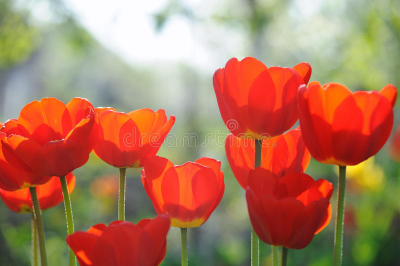 Beautiful tulips field in spring time. With sun rays royalty free stock photography