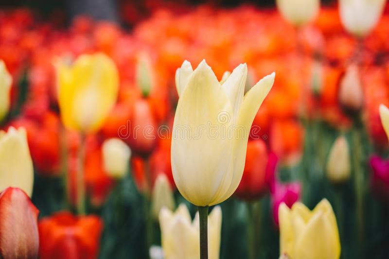 Beautiful tulips flower in tulip field in spring royalty free stock photo