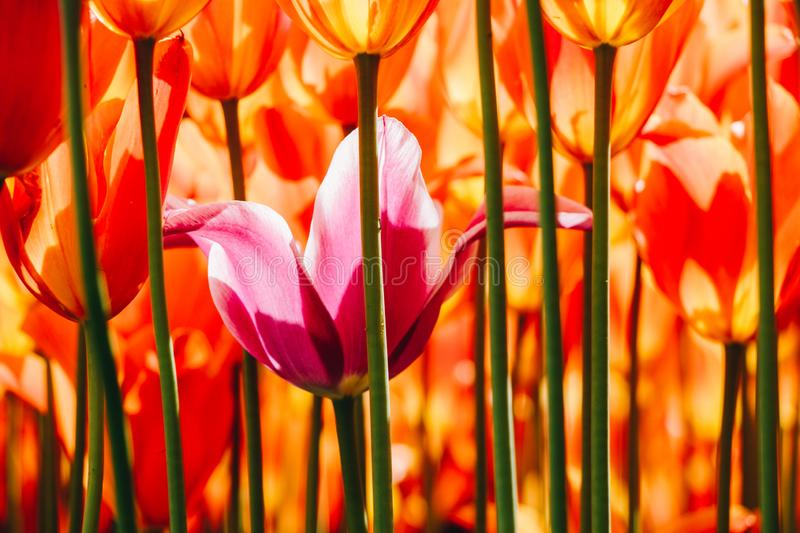Beautiful tulips flower in tulip field in spring stock image
