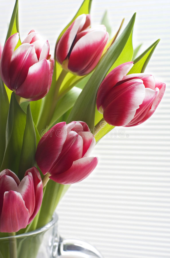 Free Beautiful Tulips In Bloom. Royalty Free Stock Images - 7777719