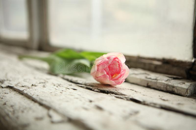 Fresh tulip on the old windowsill. Beautiful tulips, mother`s day, one tulip, old window sill, decoration elements, excellent pupil, leaf pattern, mother`s day stock photos