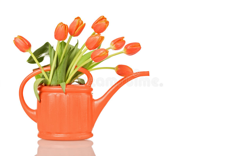 Beautiful tulips in orange watering can stock images