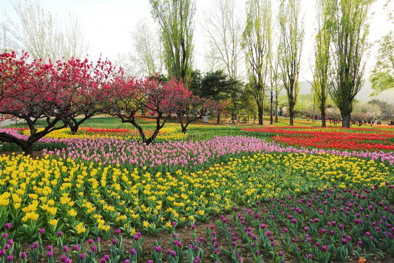 Tulips and Peach Blossoms In Garden Spring stock photo