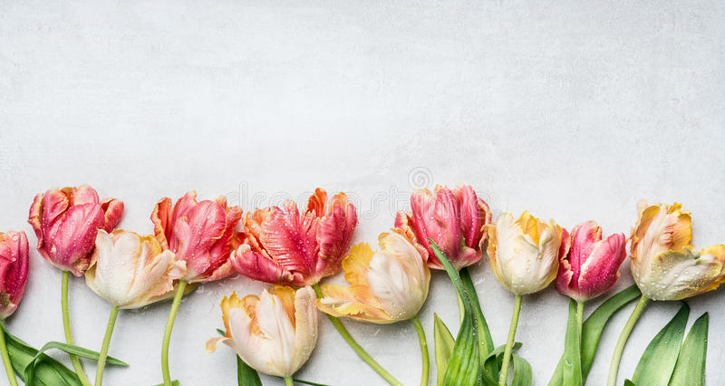 Beautiful tulips with water drops, floral border, top view. Spring flowers royalty free stock photos