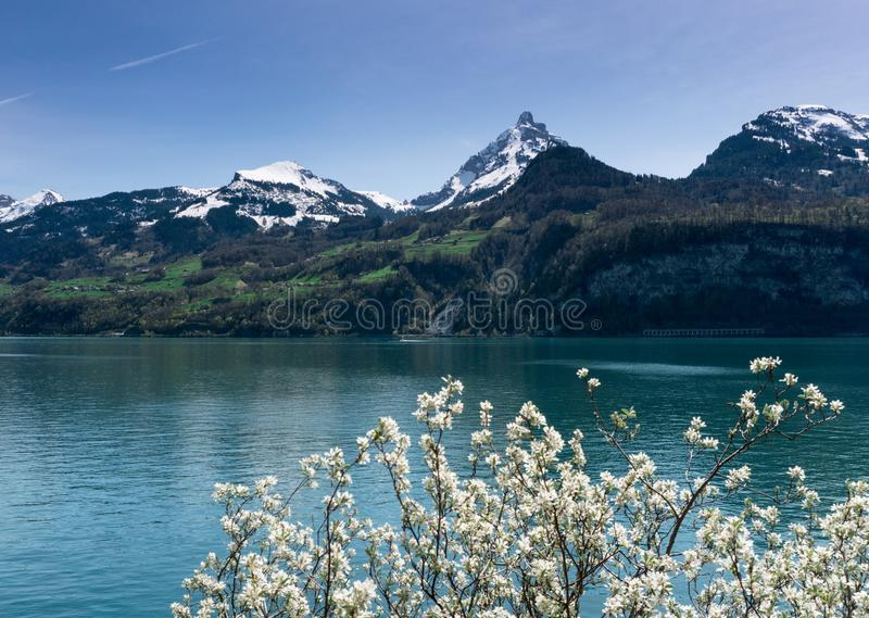 Beautiful turquoise mountain lake panorama with snow-covered peaks and green meadows and forests and blooming trees in the foregro royalty free stock image