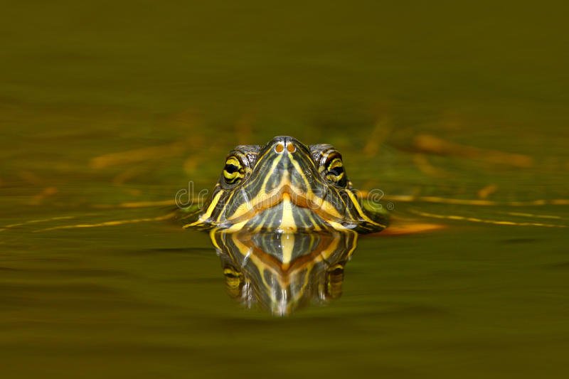 Beautiful turtle in the river. Red-eared slider, Trachemys scriptta. Tortoise in nature river habitat. Tortoise detail face portra royalty free stock photography