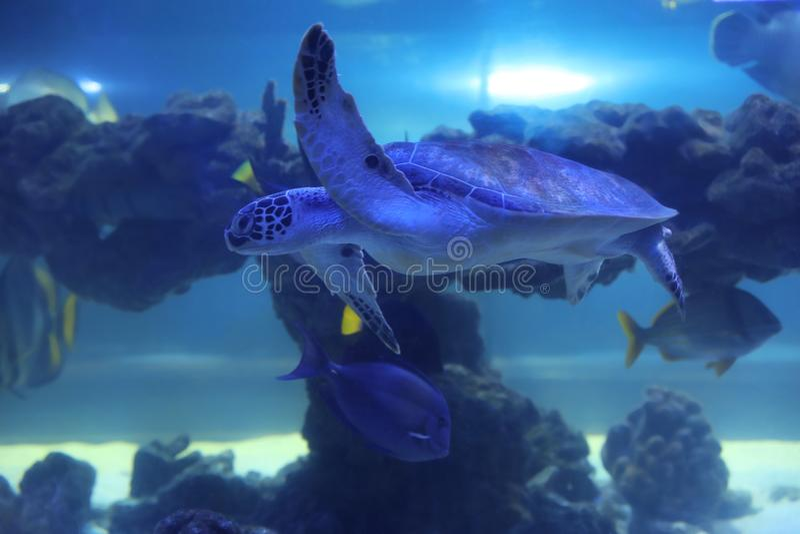 Beautiful turtle swimming in aquarium water. Beautiful turtle swimming in clear aquarium water royalty free stock photography