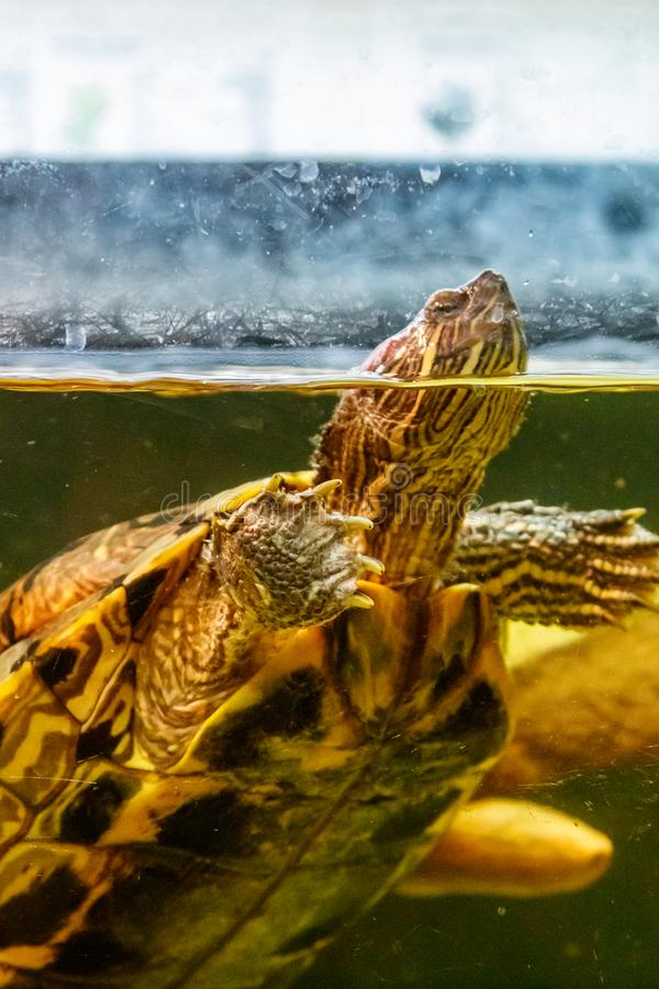 Beautiful turtle swims in the water royalty free stock photo