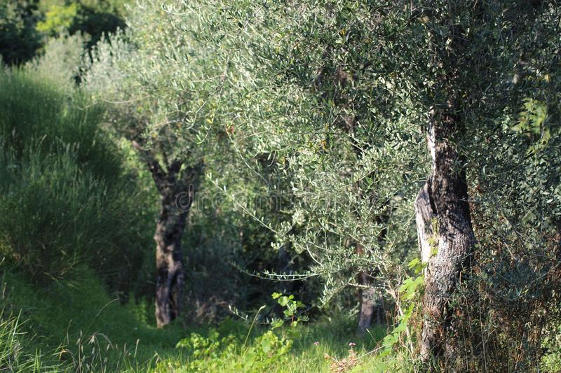 The beautiful Tuscan olive tree in the beautiful field in Italy. stock images