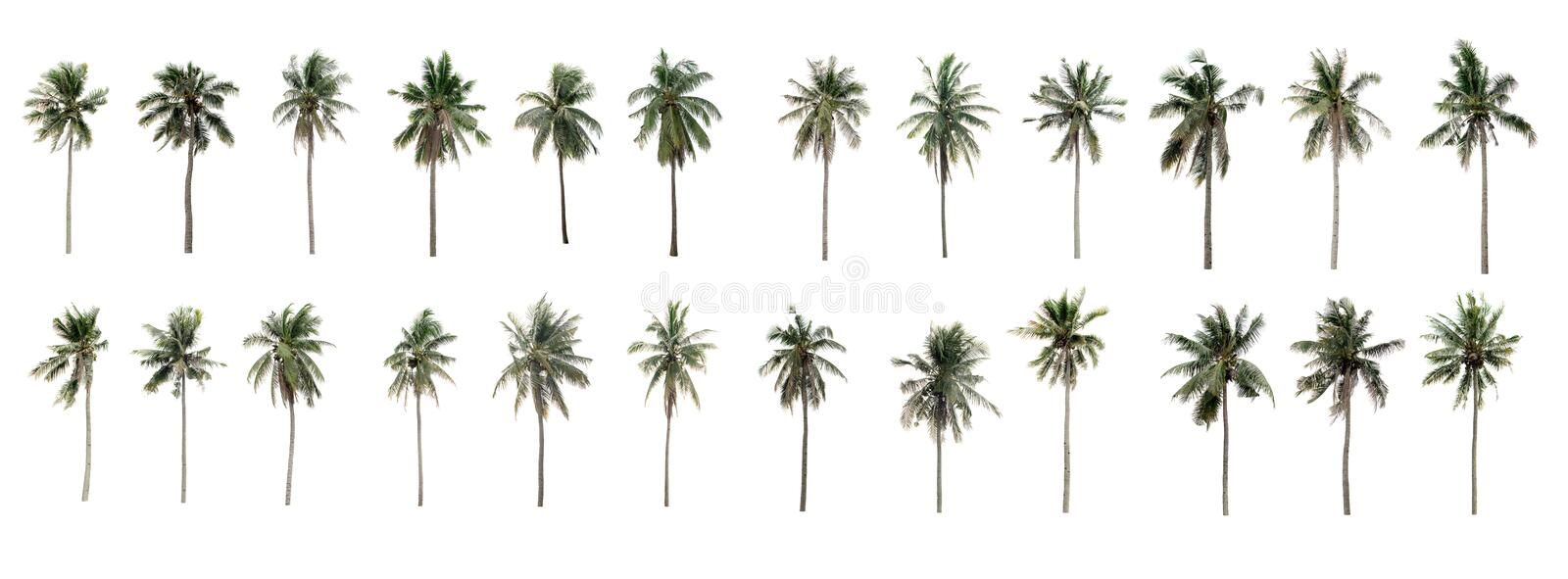 Beautiful Twenty-four coconut palm trees in the garden royalty free stock image