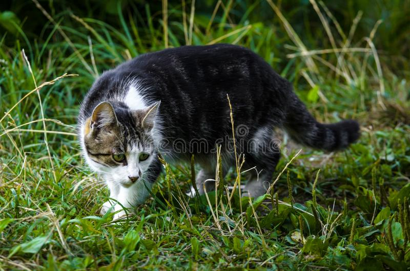 A beautiful two-colored cat with a white breast is sitting in the grass near the water stock images