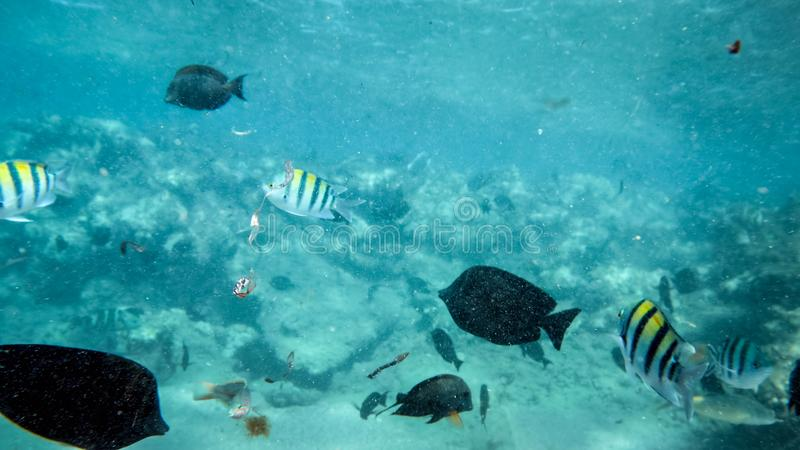 Beautiful underwater photo of lots of colorful coral fishes swimming around dead corel in Red sea. Beautiful underwater iamge of lots of colorful coral fishes royalty free stock image