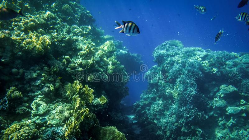 Beautiful underwater photo of lots of colorful tropical fishes swimming around big coral reef in the sea stock photo
