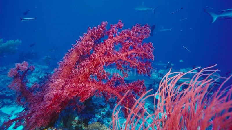 Beautiful underwater view with a red soft coral, fan. Healthy coral reef, with lots of schooling fishes, light and hard and soft stock image