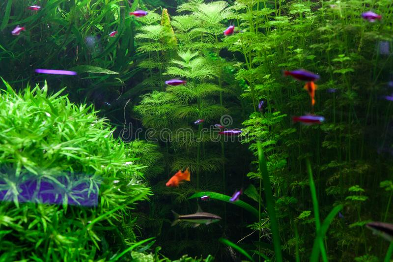 Green algae in the aquarium. Beautiful underwater world. Green algae in the aquarium royalty free stock photos