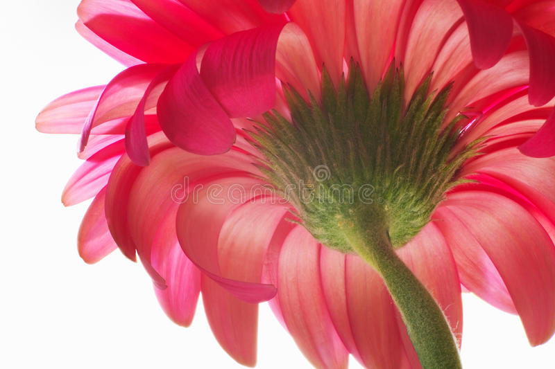Beautiful Unfolded Gerbera. Stock Photos