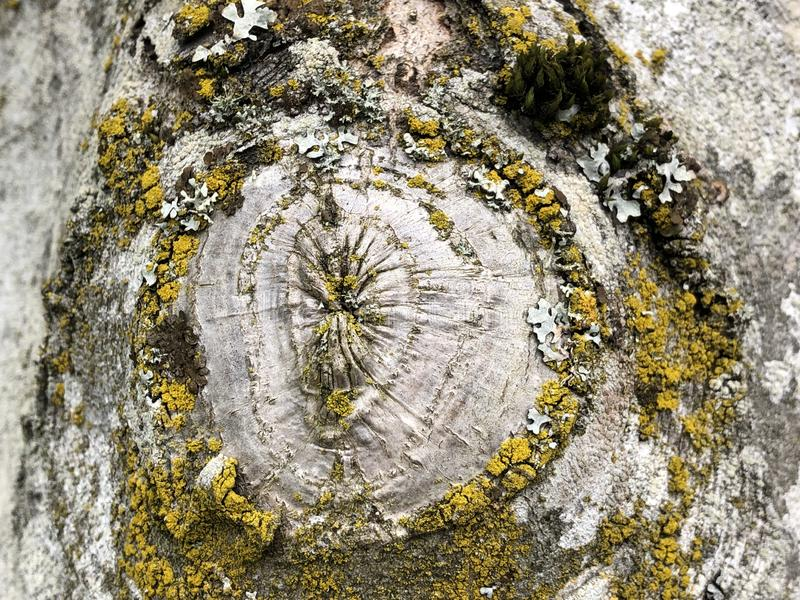 Unique circular patterned moss with yellow green and white color over the tree trunk. Beautiful and Unique circular patterned moss with yellow and white color stock image
