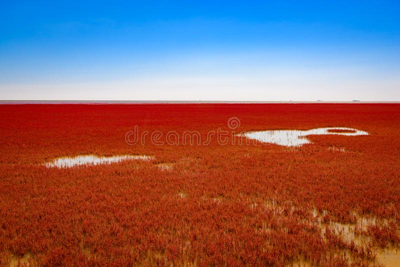 Panjin Red Beach, Liaoning, China. Beautiful and unique looking Panjin Red Beach, Liaoning, China stock images